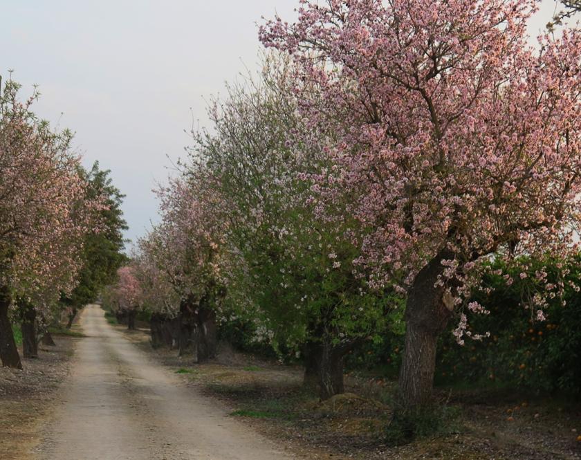 almondtrees4