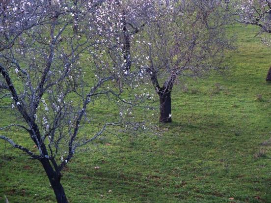 almondtrees5