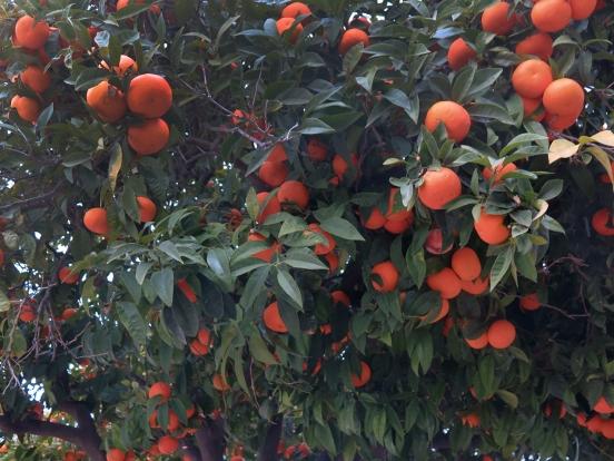 appelsiinipuu1